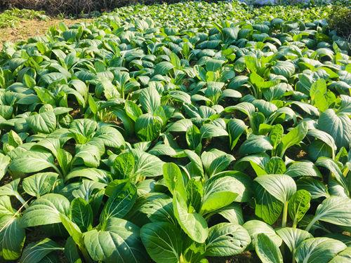 蔬菜移栽机作业效果综合测评活动在京举办