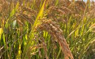 农业农村部召开专门会议 研究部署秋粮抢收减损工作